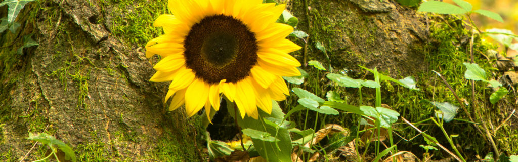 Sonnenblume als Symbol für anonyme Bestattung